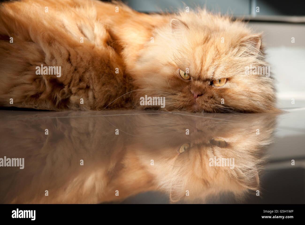 Persian cat lying on floor - Stock Image