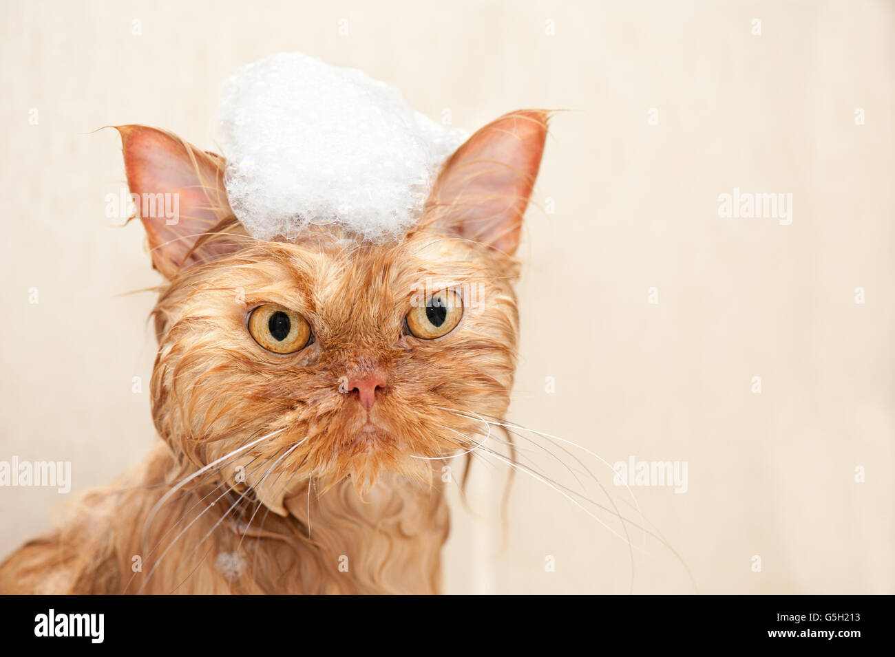 Persian cat taking a bath with foam. - Stock Image