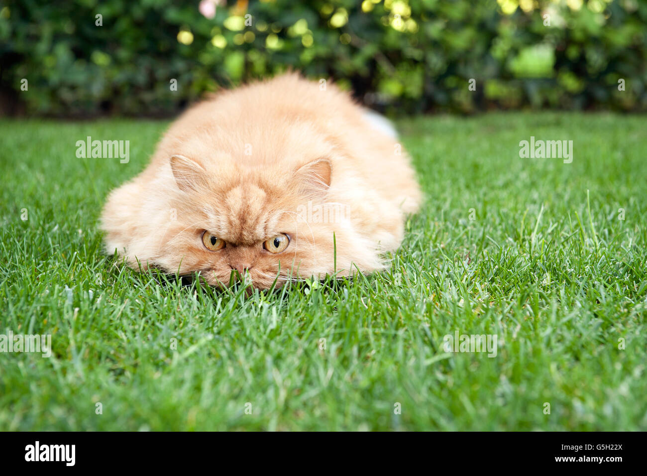Persian cat hunting in the garden - Stock Image