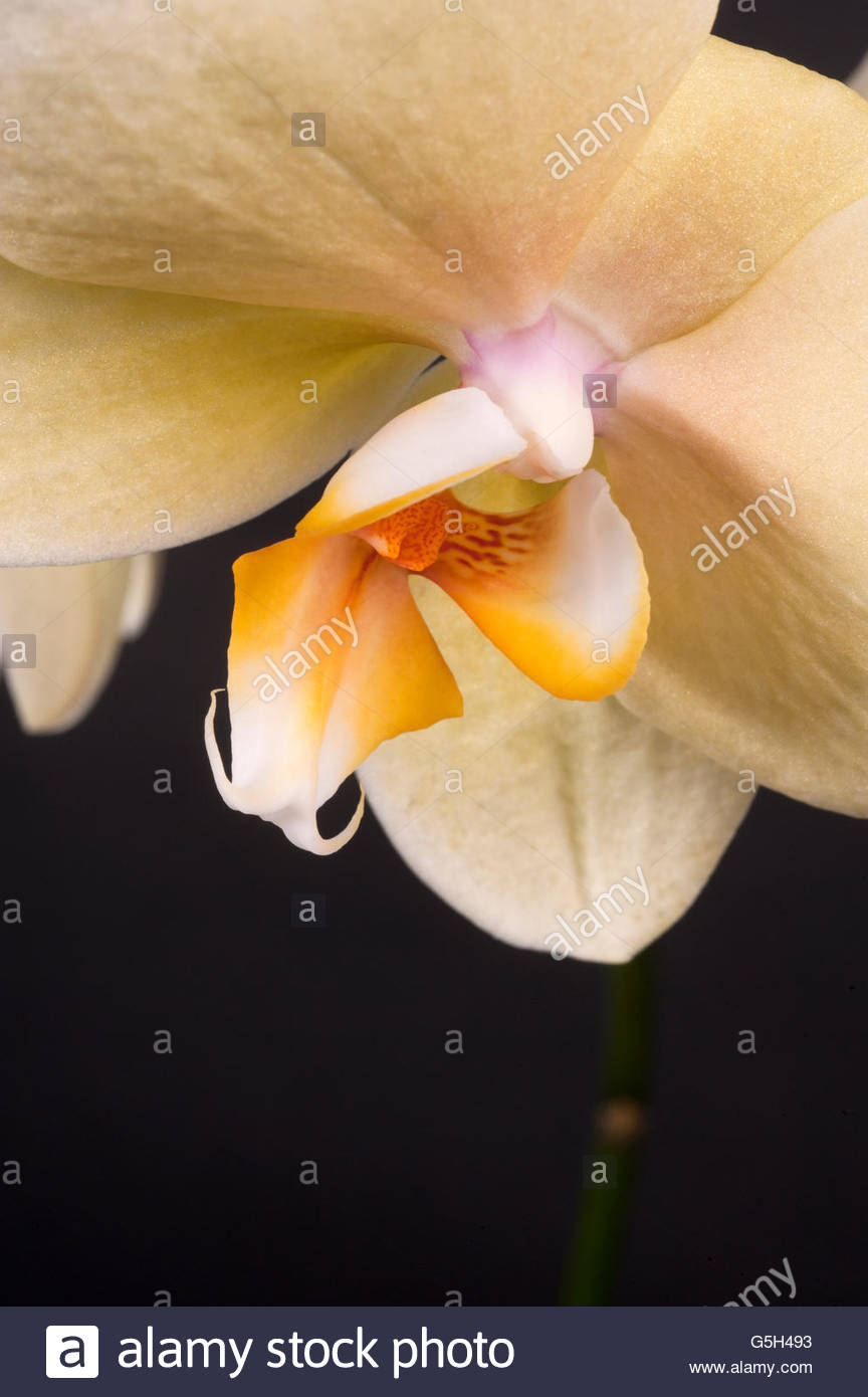 White Orchid...on a Black Background - Stock Image