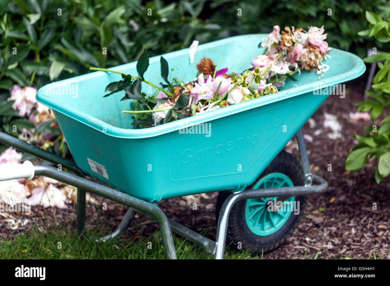 overblown stems and flowers of peonies in the garden wheelbarrow - Stock Image