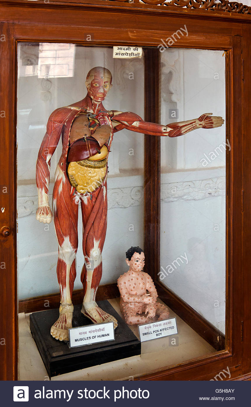 Human Anatomy & Disease Models in Glass Case in Museum - Stock Image