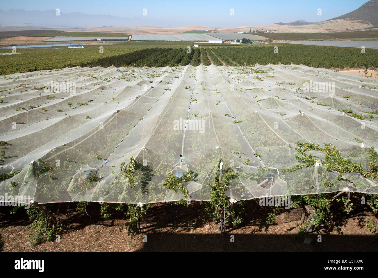 Vines growing and protected by plastic sheeting at Riebeek Kasteel in the Swartland region of Southern Africa - Stock Image