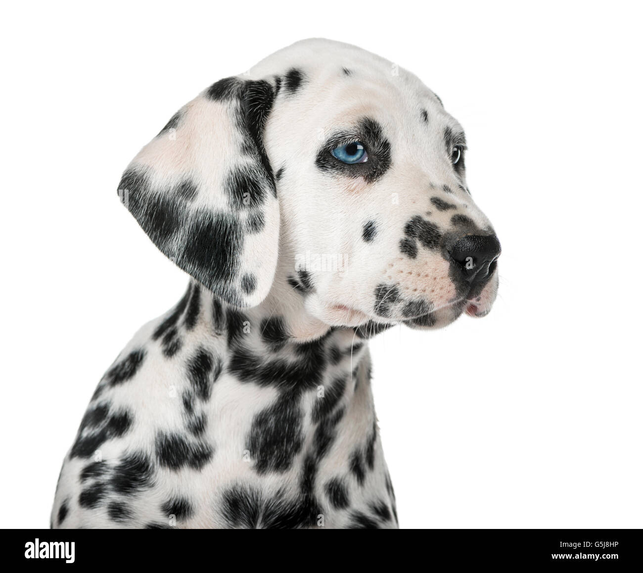Close-up of a Dalmatian puppy with heterochromia in front of a white background - Stock Image