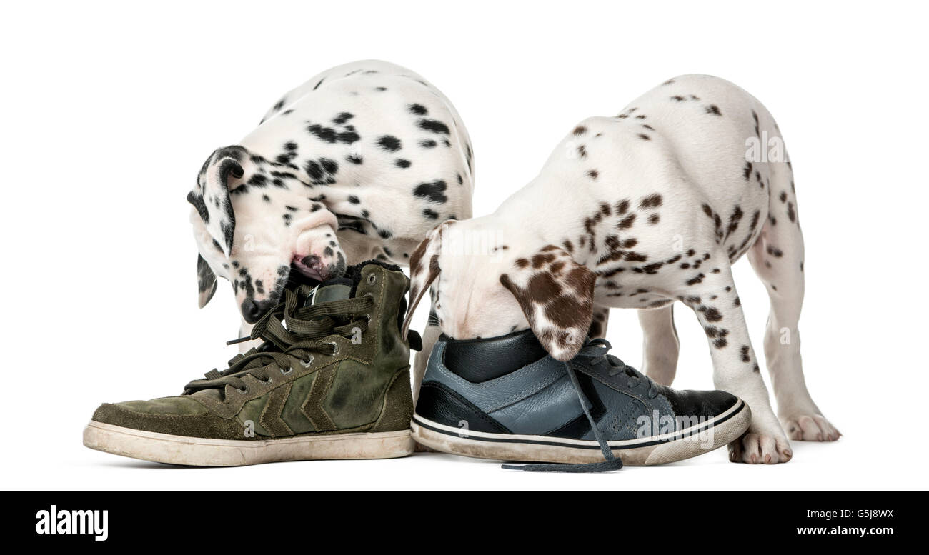 Two Dalmatian puppies chewing shoes in front of a white background - Stock Image