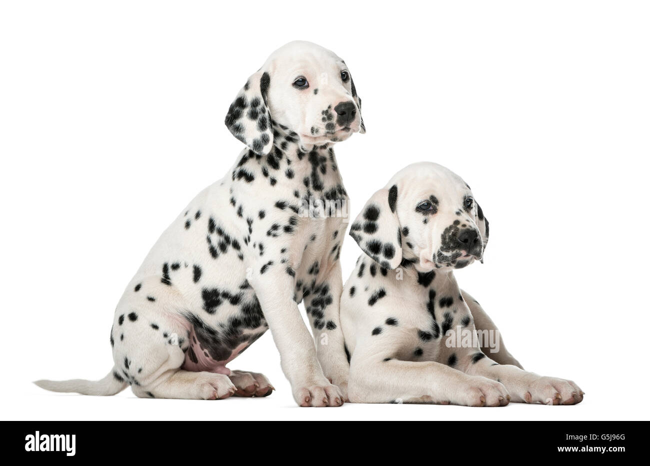Two Dalmatian puppies in front of a white background - Stock Image