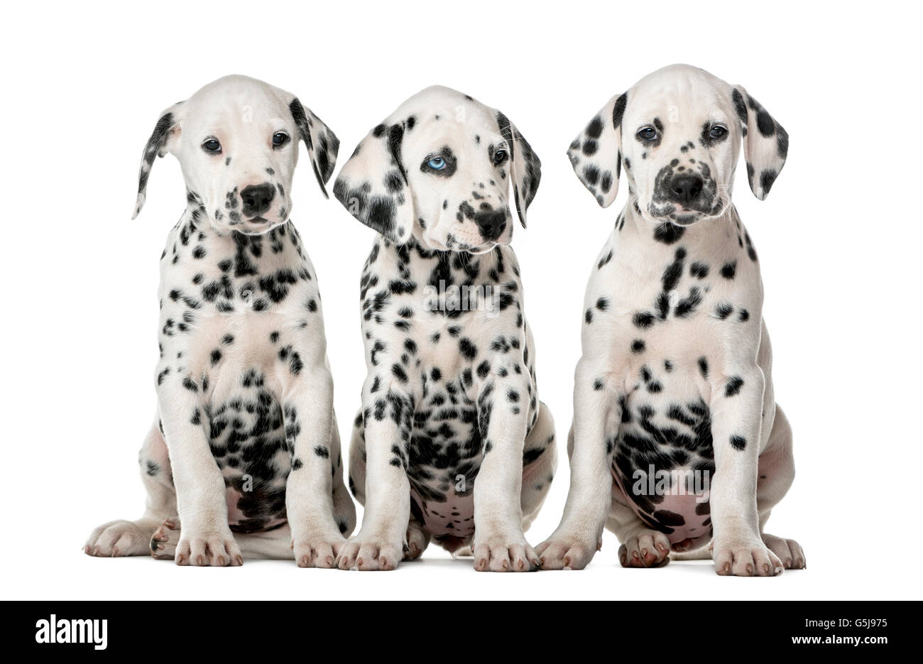 Three Dalmatian puppies sitting in front of a white background - Stock Image