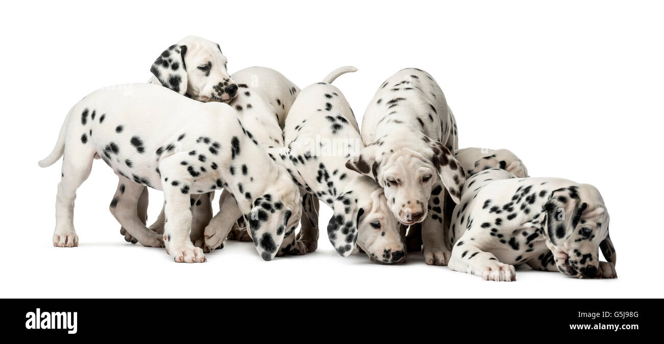 Group of Dalmatian puppies eating in front of a white background - Stock Image
