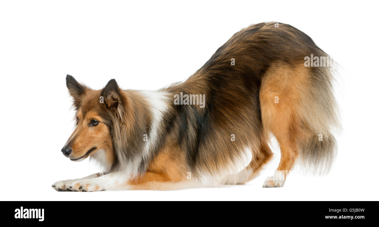 Shetland Sheepdog bowing in front of a white background - Stock Image