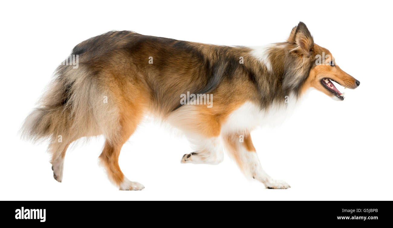 Shetland Sheepdog running in front of a white background Stock Photo