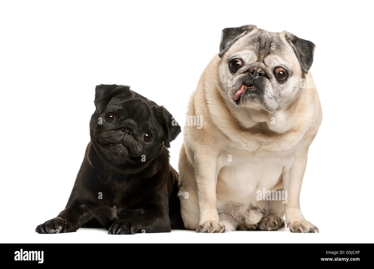 Two funny Pugs in front of white background - Stock Image