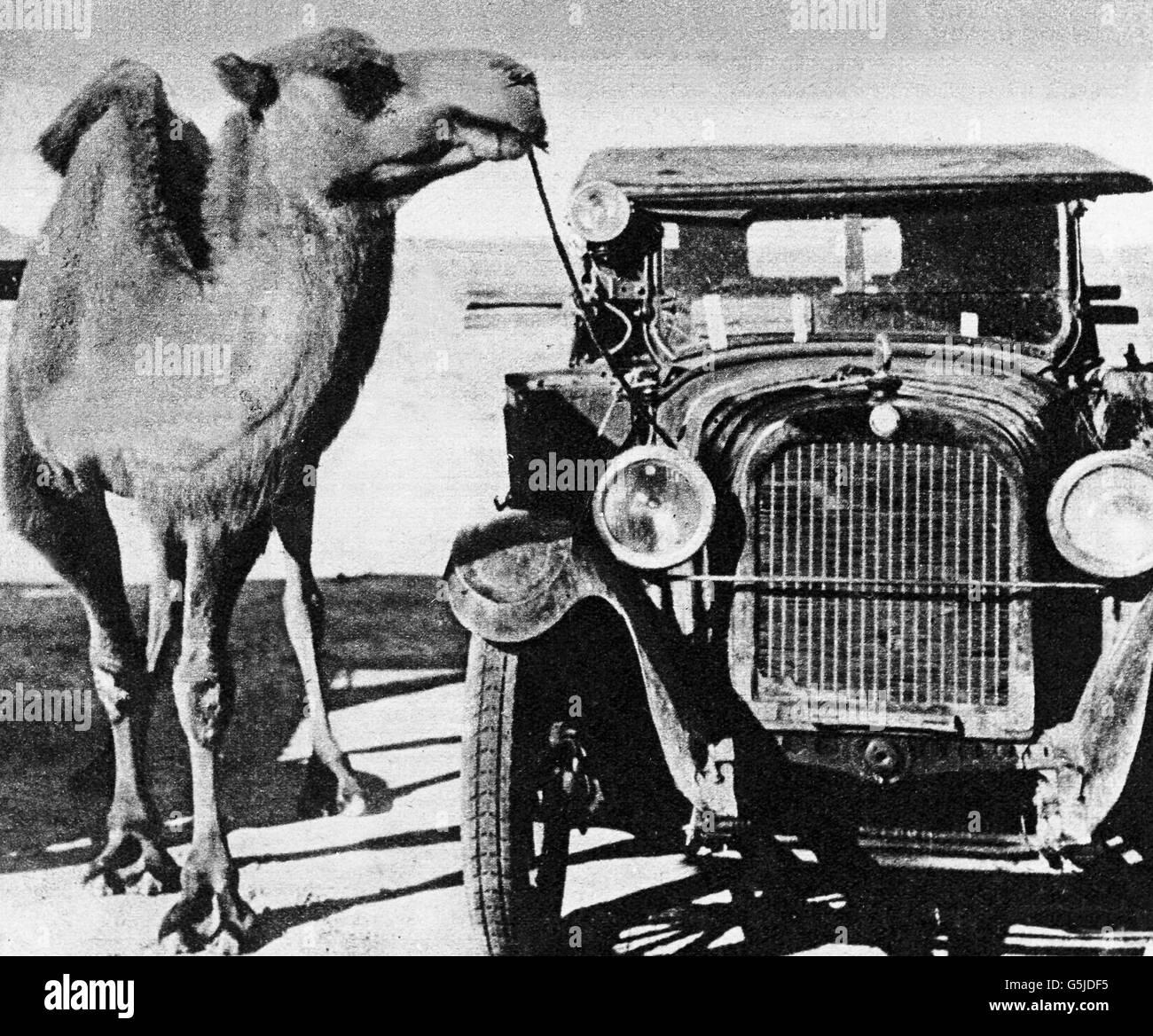 Ein Kamel ist an einem Auto festgebunden, China 1910er Jahre. A camel bound at a car, China 1910s. Stock Photo