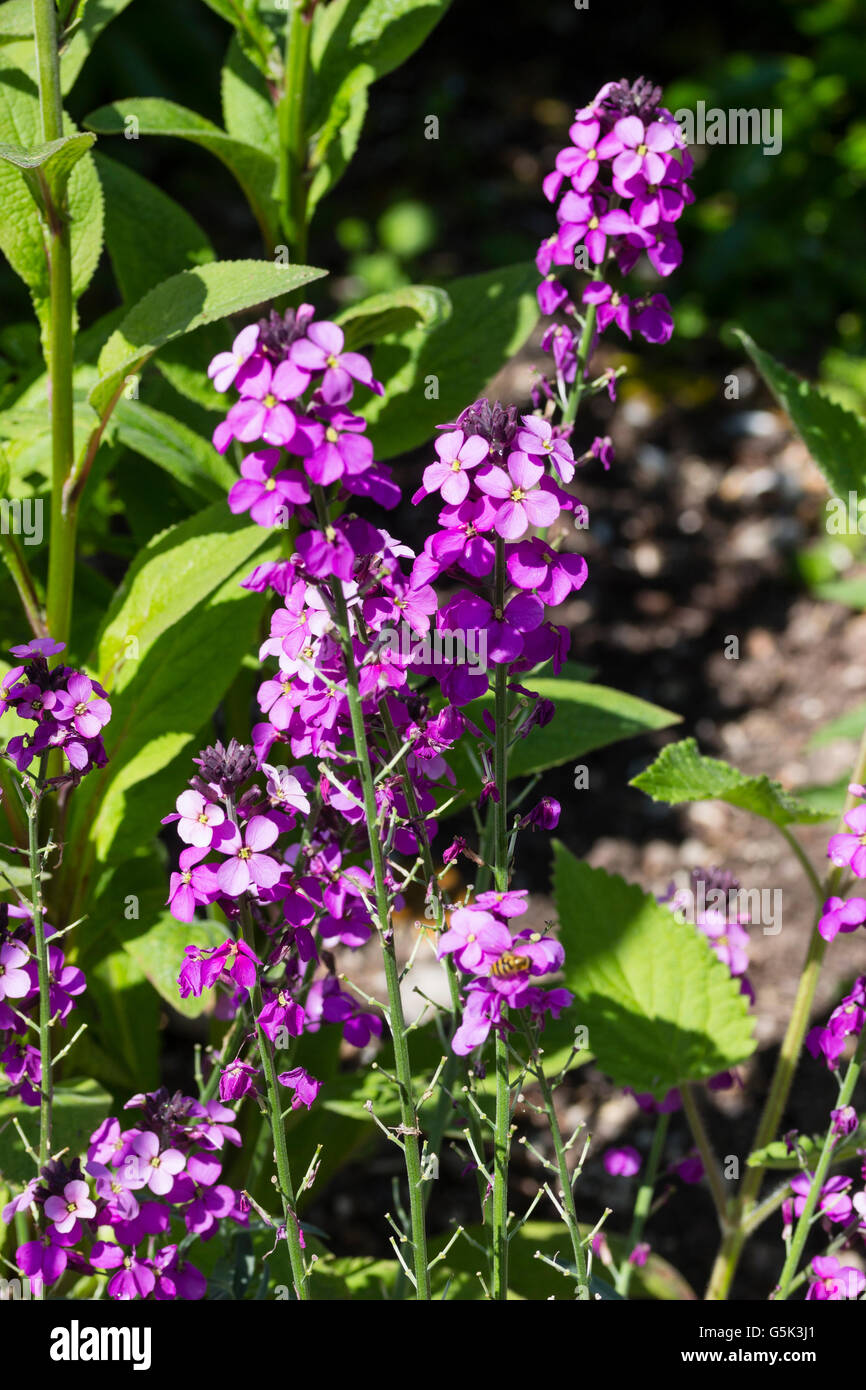 Cheiranthus stock photos cheiranthus stock images alamy light purple flowers of the hardy long flowering perennial wallflower cheiranthus bowles mightylinksfo