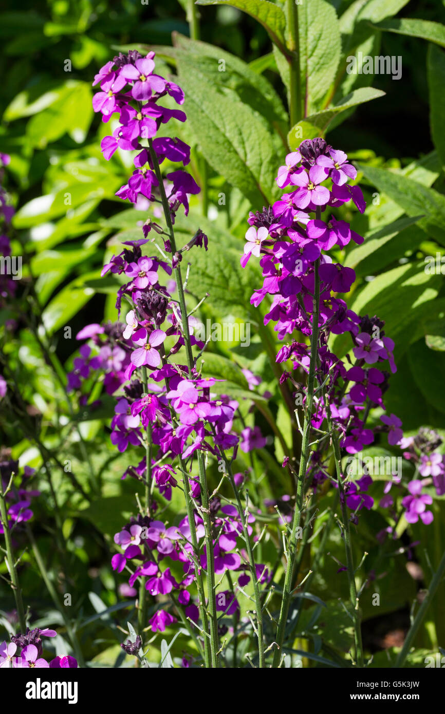 Light purple flowers of the hardy long flowering perennial stock light purple flowers of the hardy long flowering perennial wallflower cheiranthus bowles mauve mightylinksfo