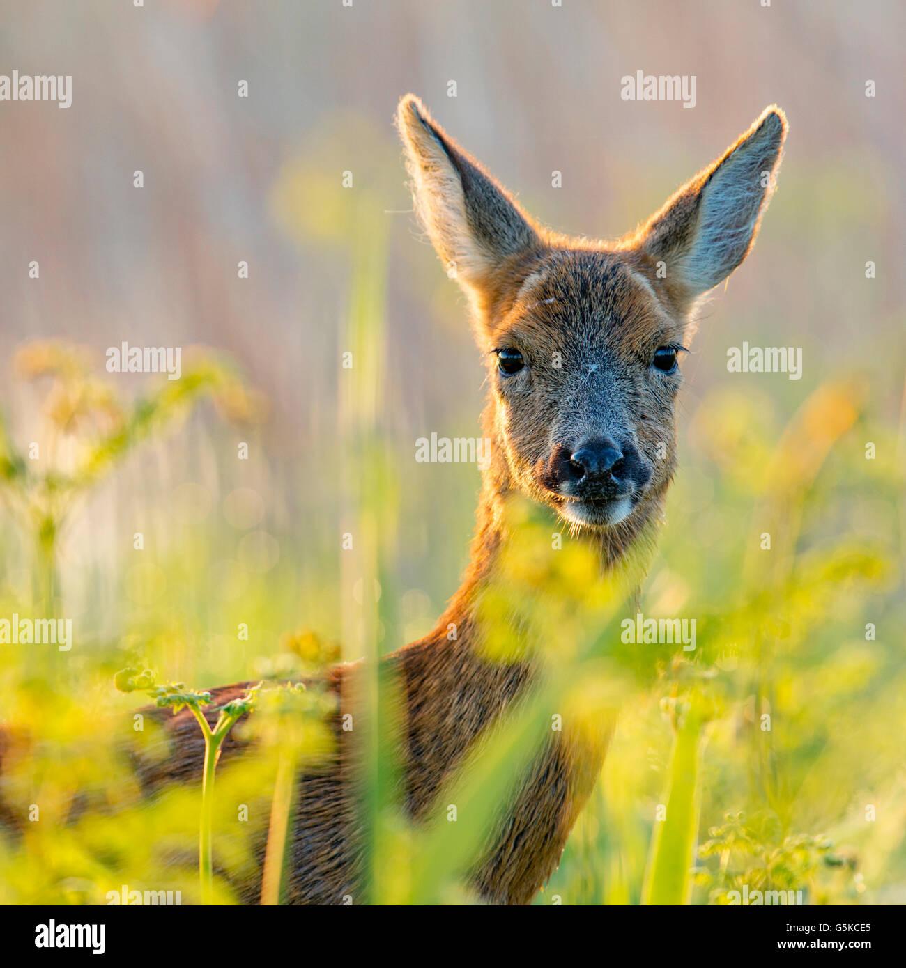 Female roe deer - Stock Image