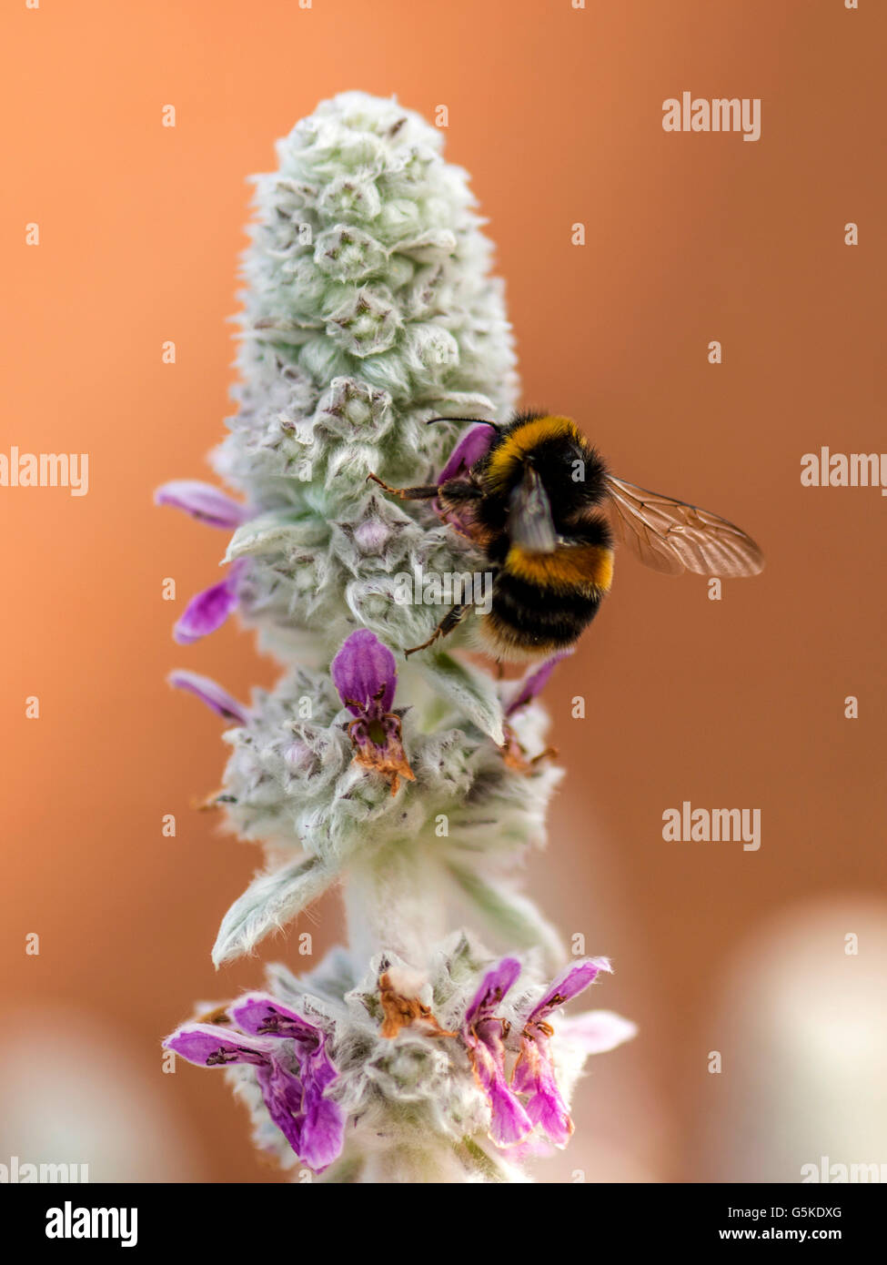 Spring Pollinator, Bumblebee (Bombus) foraging for nectar from the pink flowers of the white-woolly Lamb's Ear - Stock Image