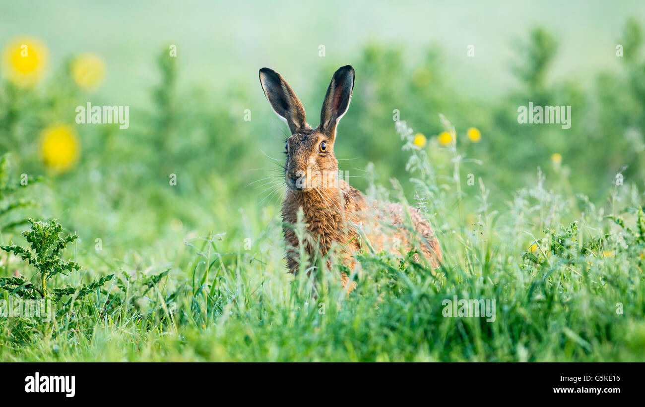 A brown hare in a lush Summer meadow - Stock Image