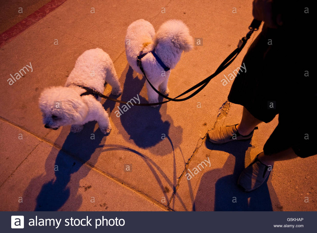 Two dwarf poodles on a leash on the Redondo Beach Seawalk at night - Stock Image