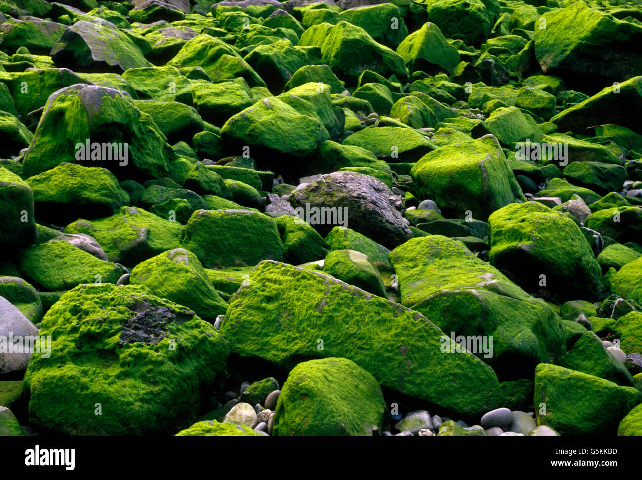 River rocks covered with green moss & lichen, Quillayute River Delta, Pacific Ocean, Olympic Peninsula, La Push, - Stock Image