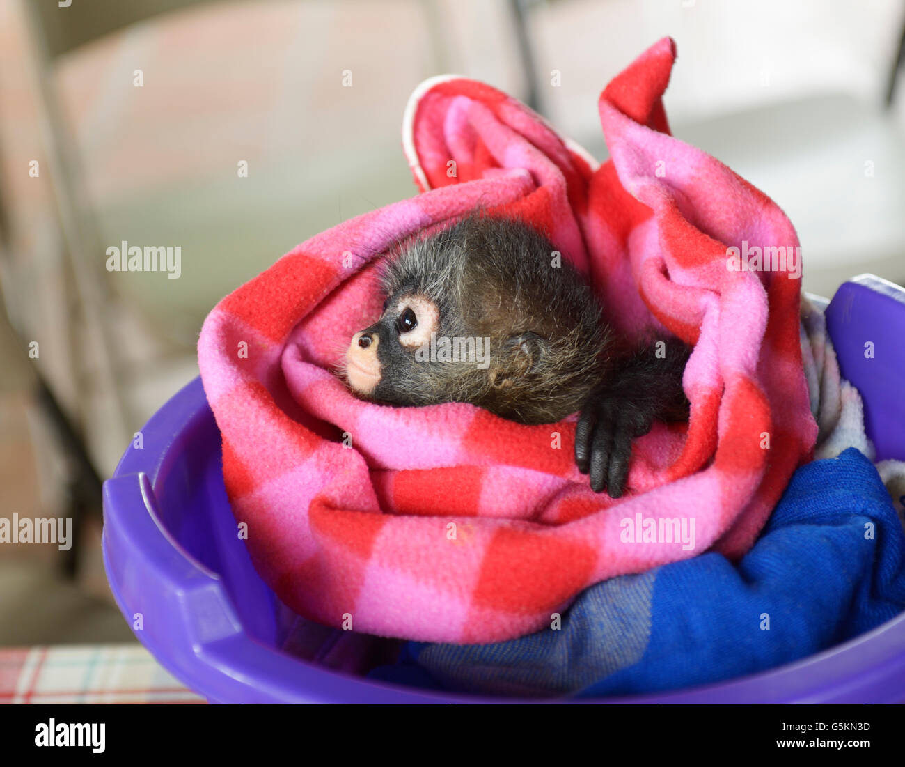 Baby spider monkey, ateles geoffroyi, at a wildlife rehabilitation center, CR. See 'Description' for location - Stock Image
