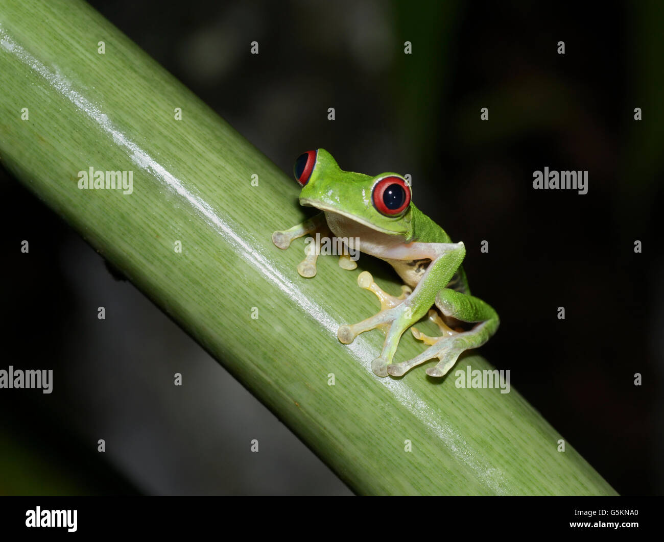 Red-eyed tree frog, Agalychnis callidryas, Pacific slope variety Stock Photo