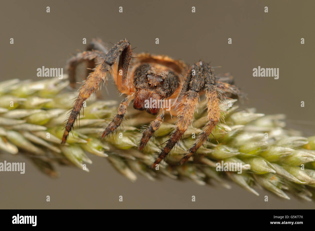 Wraparound spider, Dolophones sp. at Glenbrook, New South Wales, Australia. - Stock Image