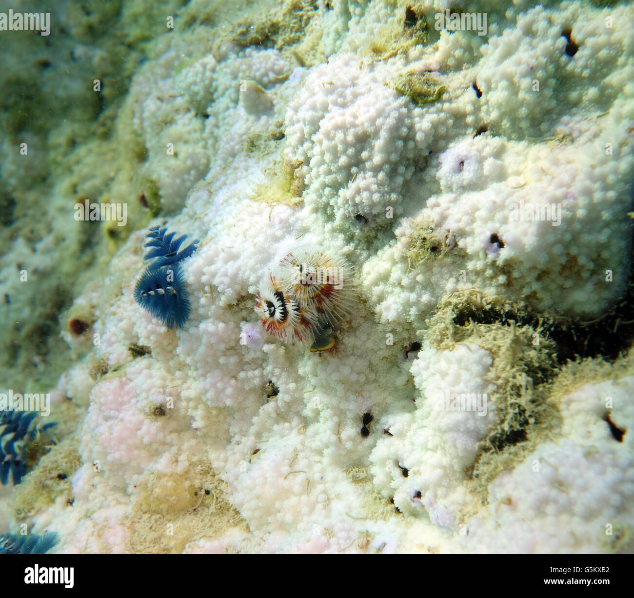 Christmastree worms (Spirobranchus giganteus) still alive in bleached coral colony that has died and is being overgrown Stock Photo