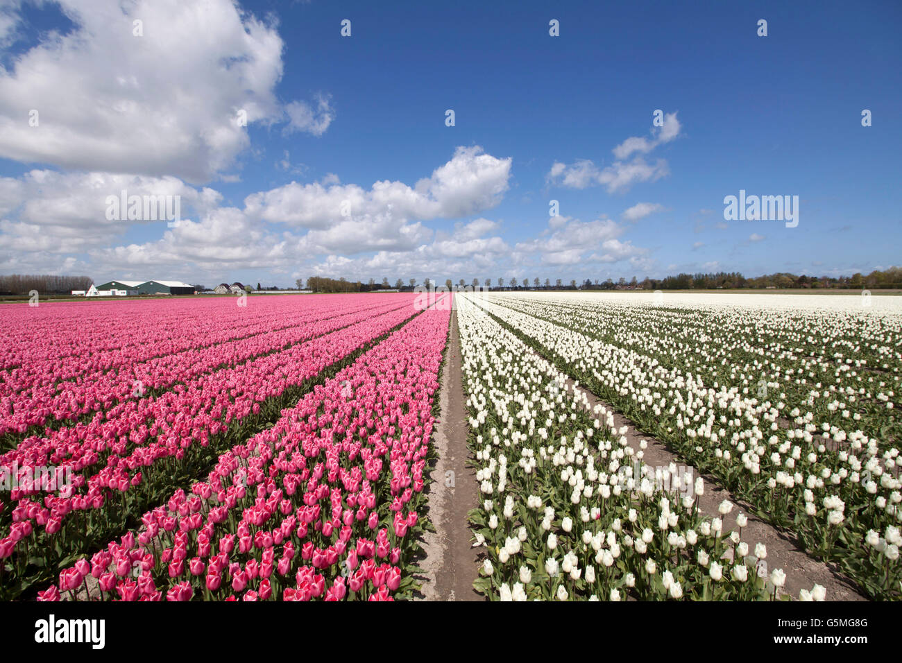 Pink and white tulips in a row in the spring with a blue sky. Stock Photo