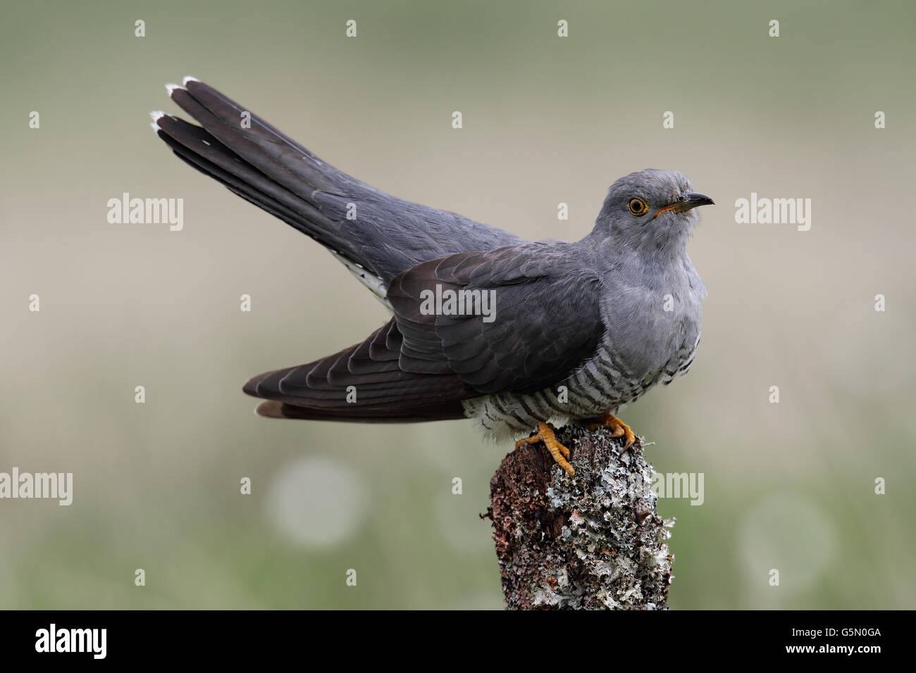 Wild adult Male Cuckoo (Cuculus canorus) perched. Image taken in Scotland, UK. - Stock Image
