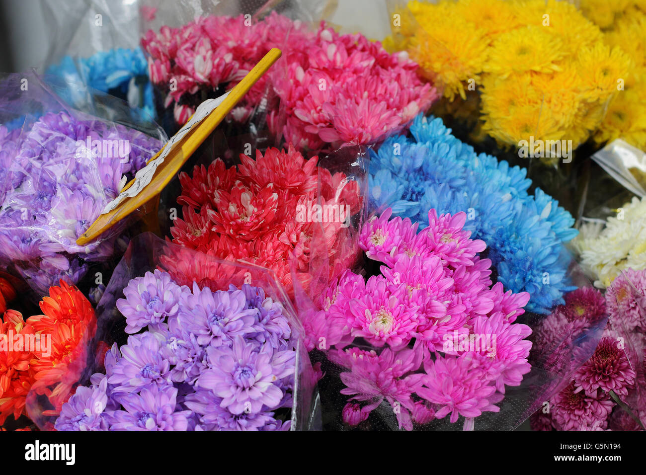 Close up of fresh colorful chrysanthemum daisies spring flowers Stock Photo