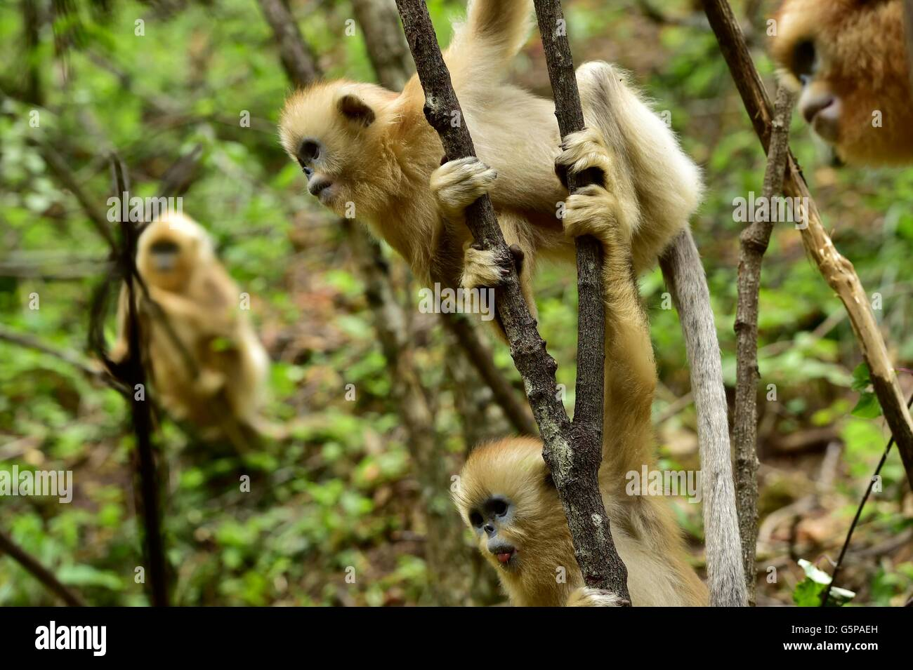 Shennongjia, China's Hubei Province. 21st June, 2016. Golden monkeys are seen at the Dalongtan Golden Monkey - Stock Image