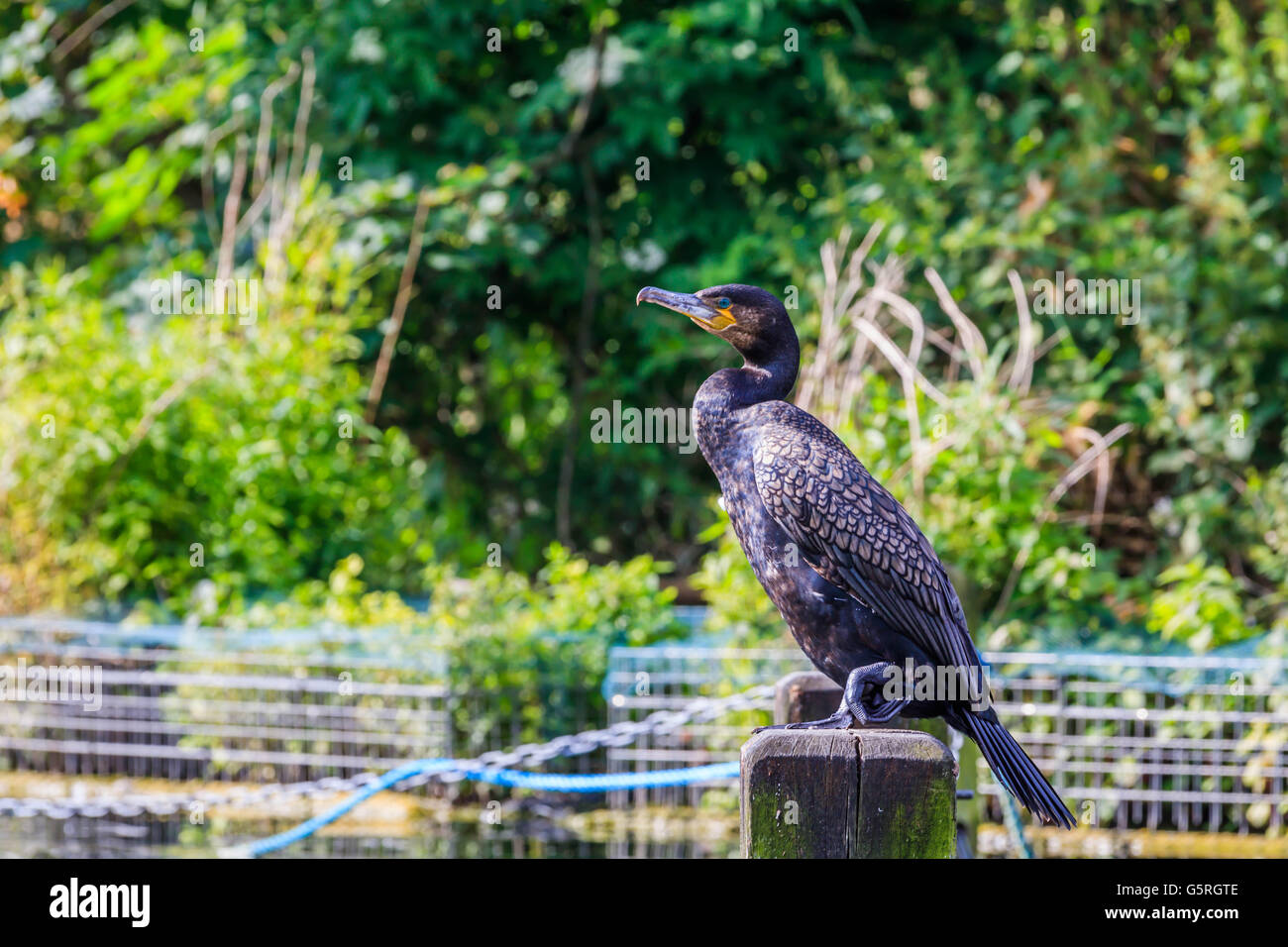 A lone Shag smaller cousin of the Cormorant enjoying the sunshine in Hyde Park London - Stock Image
