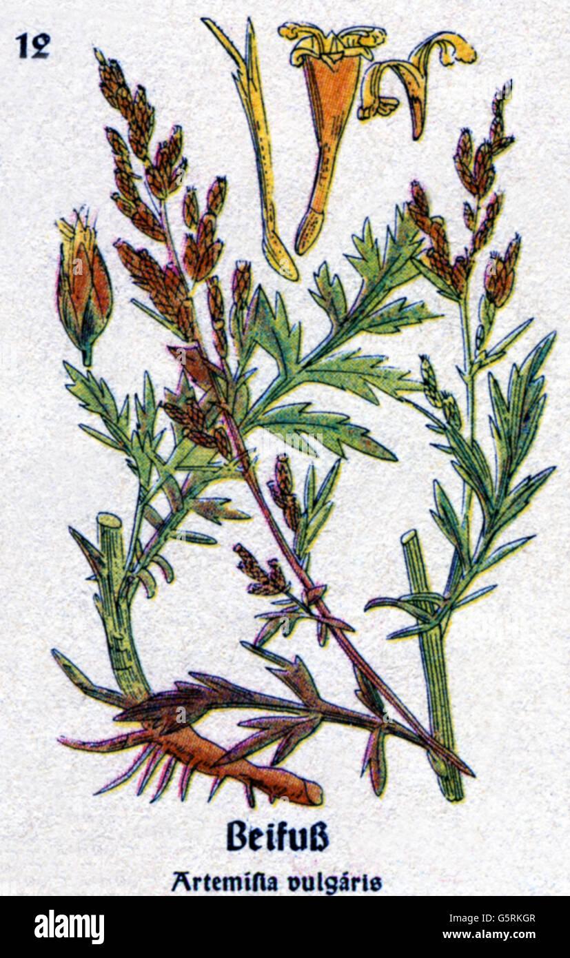 Botany Spices Common Wormwood Artemisia Vulgaris