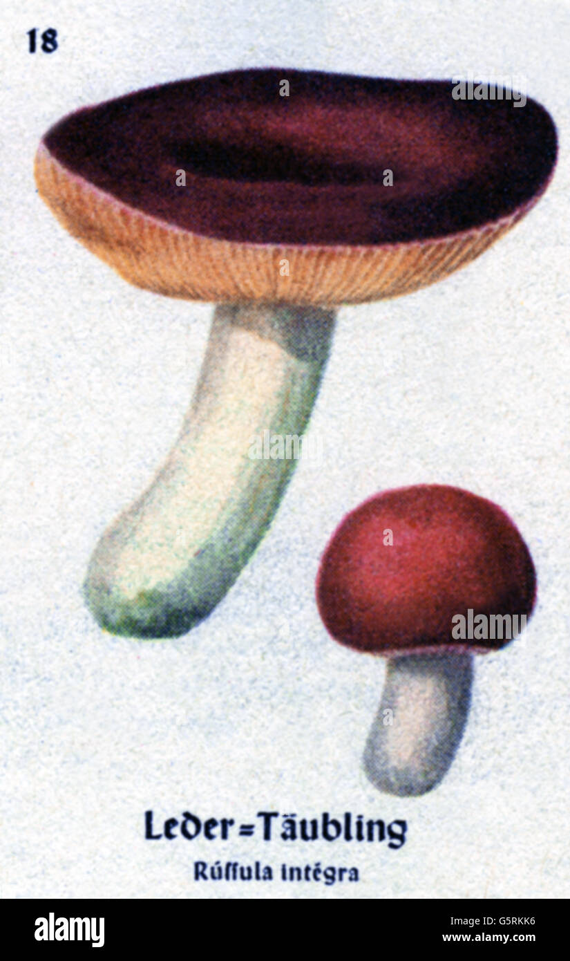 botany, fungi, Entire Russula (Russula integra), drawing from Pflanzen-Taschenbuechlein 3, (Plant's Pocket Booklet - Stock Image