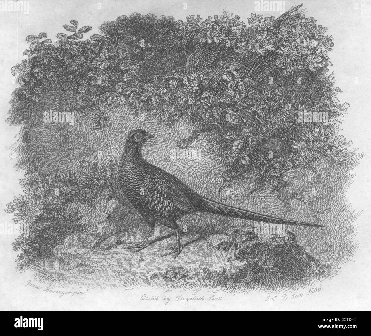 BIRDS: The Pheasant: The Pheasant, antique print 1834 - Stock Image