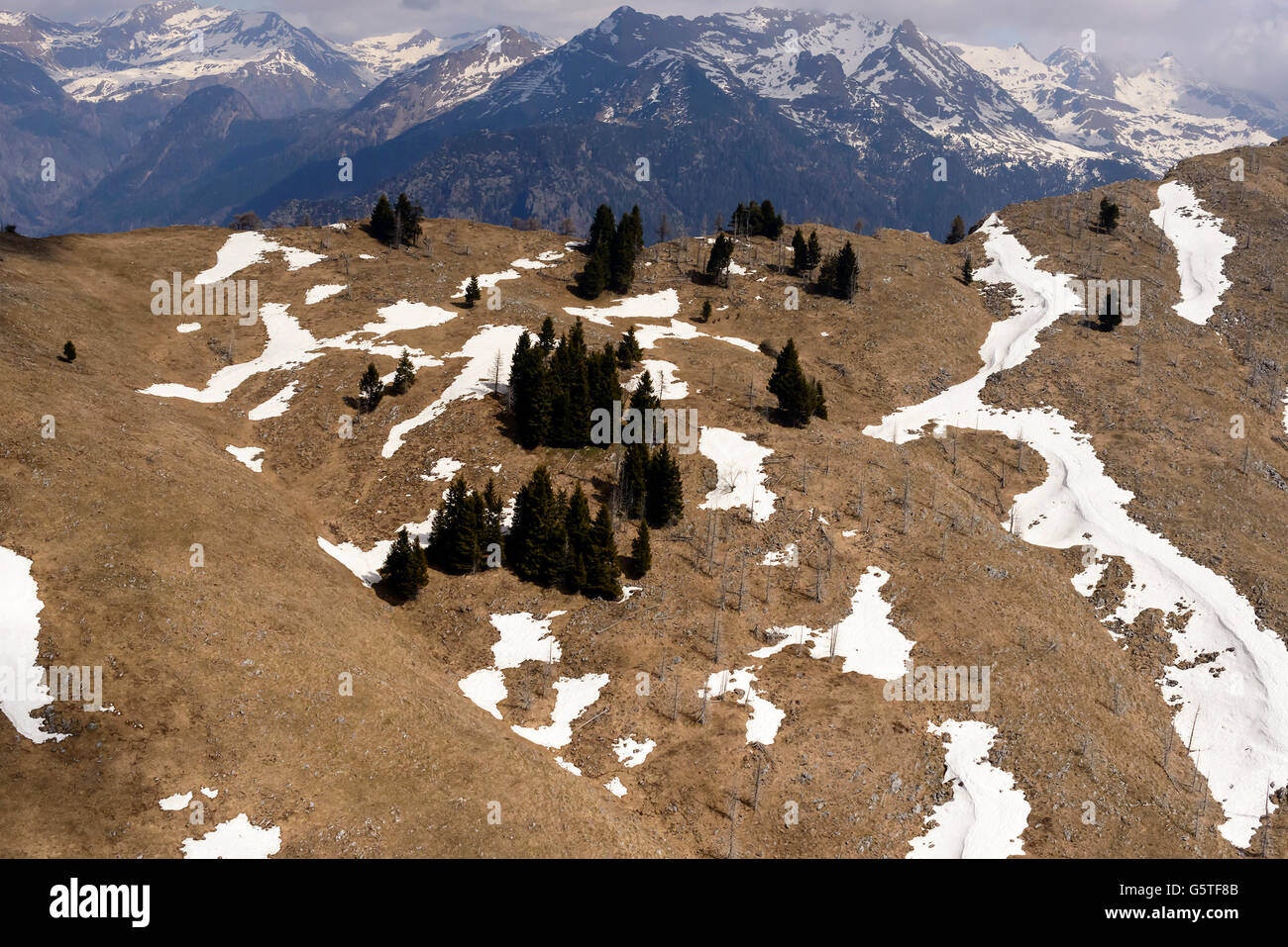remains of snow among firs on slope, Orobie, - Stock Image