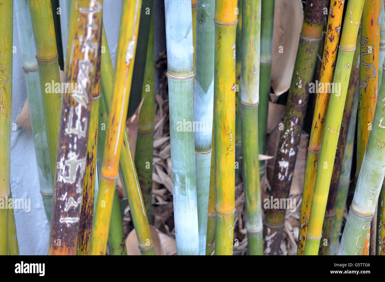 Stand of colourful Bamboo stems - Stock Image