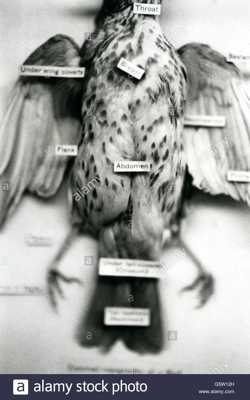 Natural History Museum bird artefact - Stock Image