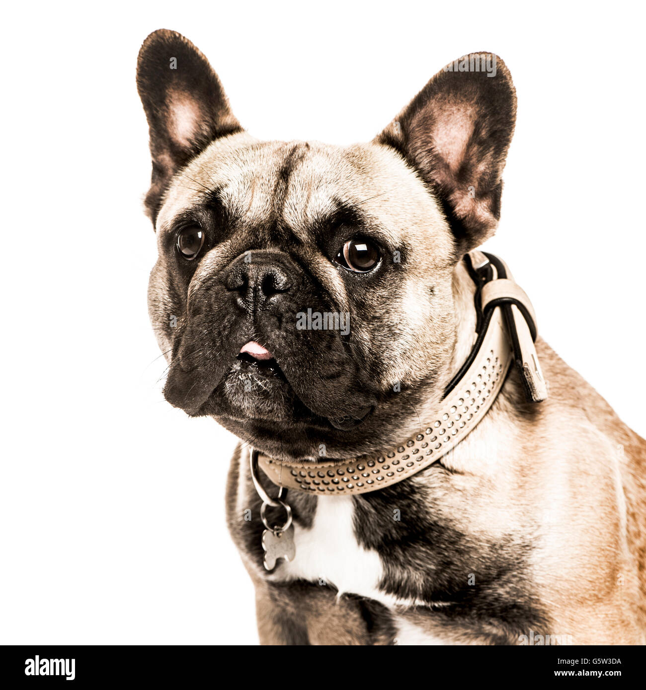 Close-up of a French Bulldog sticking the tongue out and looking at the camera, isolated on white - Stock Image
