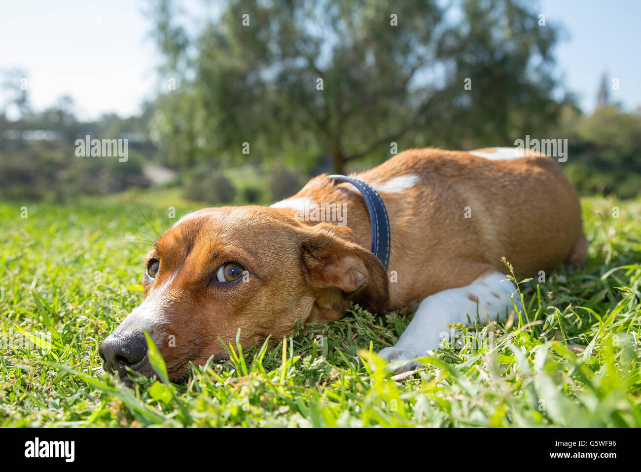 Female mixed breed laying on the grass, San Diego, California - Stock Image
