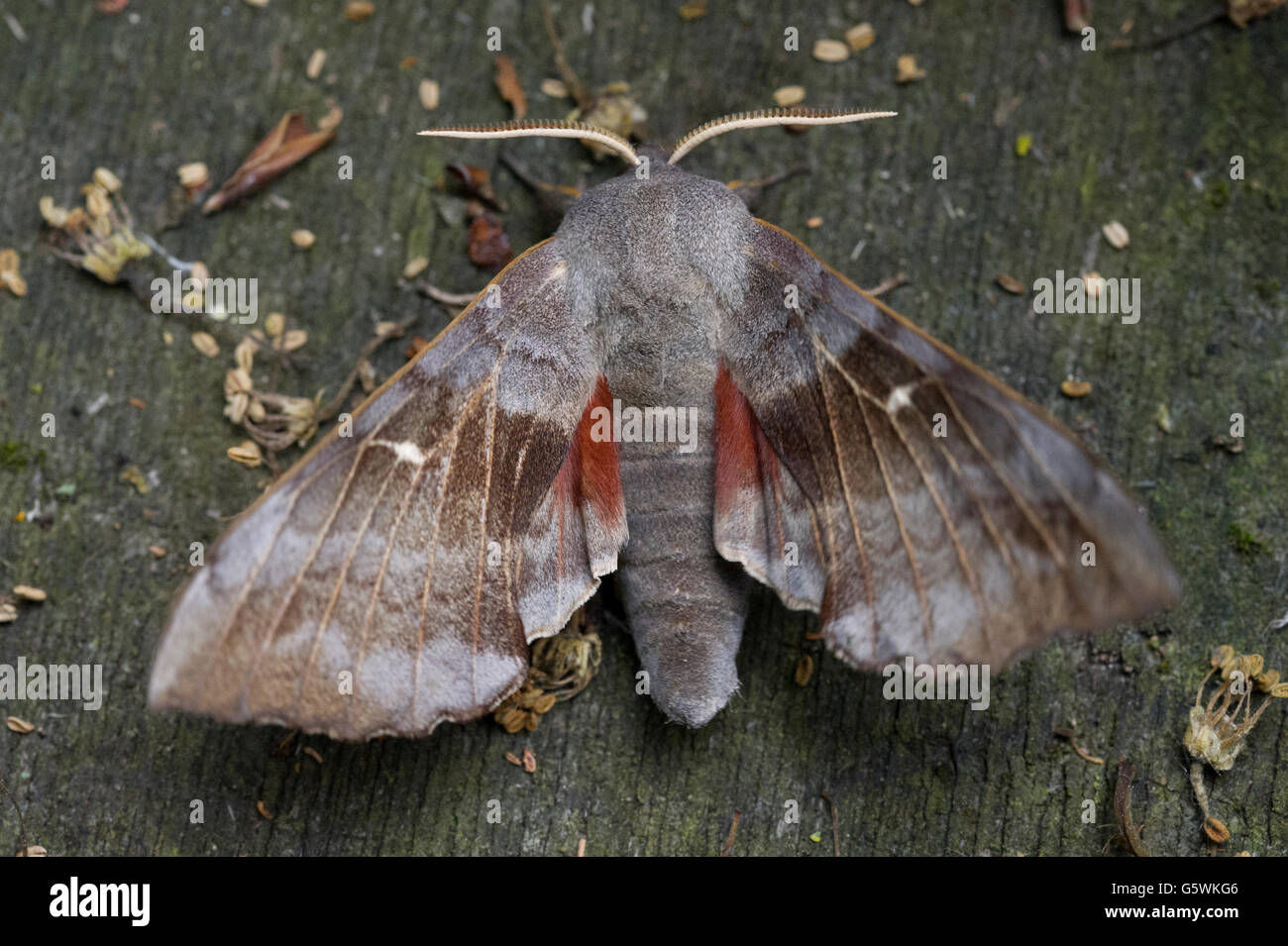 A Poplar Hawk Moth (Laothoe populi) with its wings spread while resting on an old garden table - Stock Image