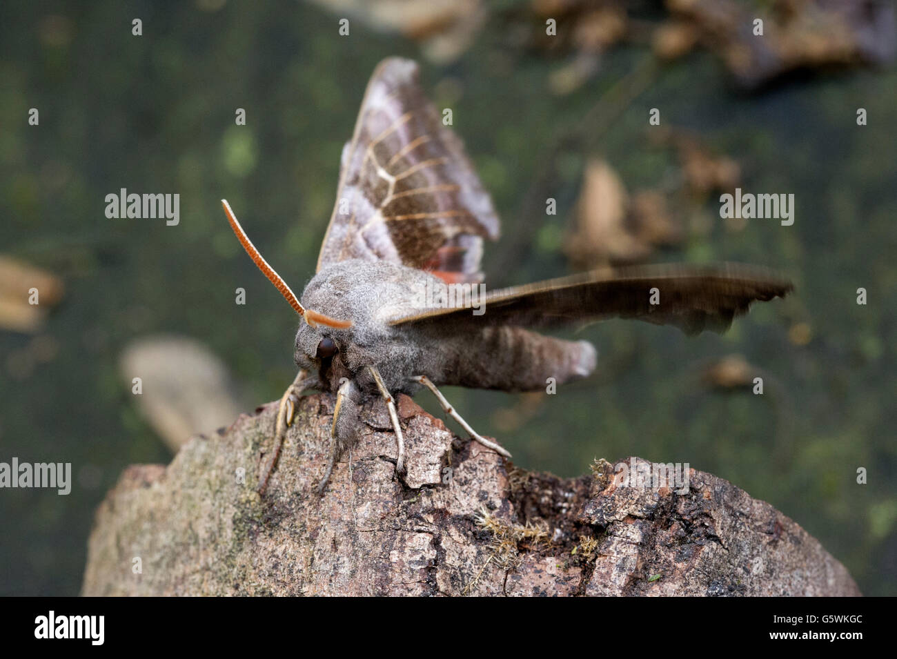 A Poplar Hawk Moth (Laothoe populi) with its wings spread while resting on an old tree branch - Stock Image