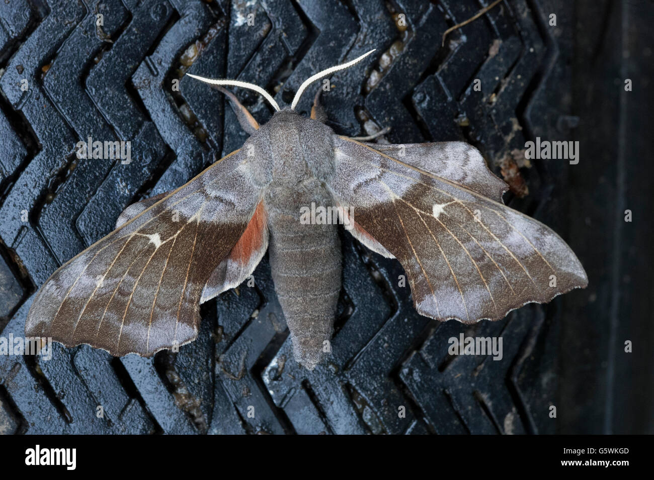 A Poplar Hawk Moth (Laothoe populi) with its wings spread while resting on the tyre of a garden wheelbarrow. - Stock Image
