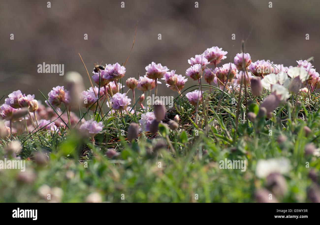 Pink sea thrift coastal flowers with a masonry bee feeding stock pink sea thrift coastal flowers with a masonry bee feeding mightylinksfo