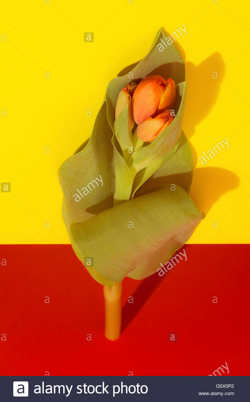 Pop art tulip flower on red and yellow with ill fitting shadow - Stock Image