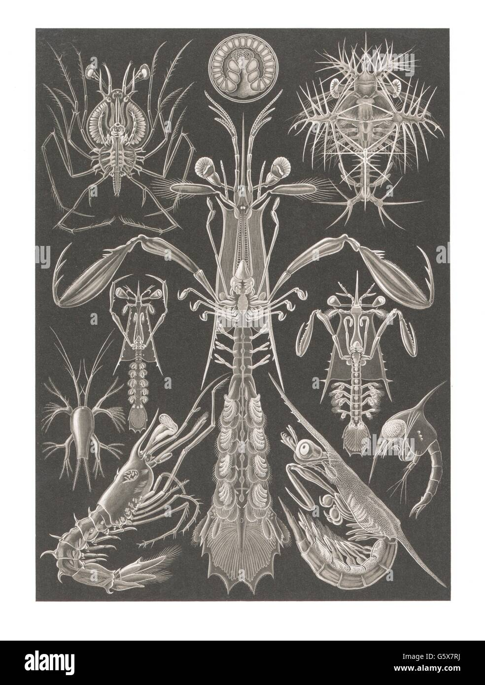 zoology / animals, crustacea, stalk-eyed crustaceans (Thoracostraca), colour lithograph, out of: Ernst Haeckel, - Stock Image