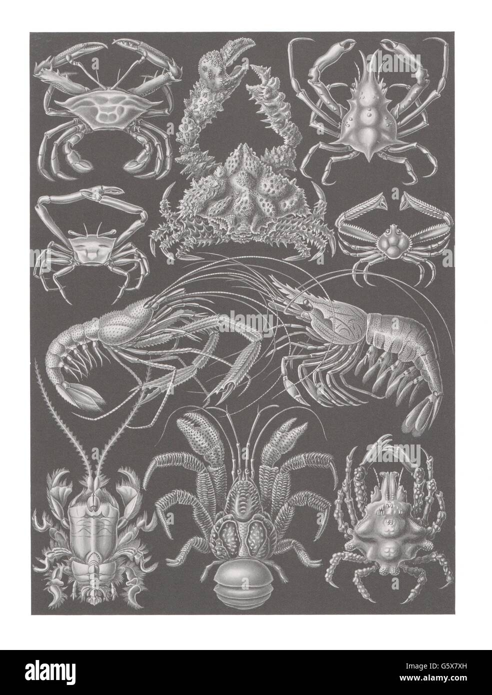 zoology / animals, crustacea, decapods (Decapoda), colour lithograph, out of: Ernst Haeckel, 'Kunstformen der - Stock Image