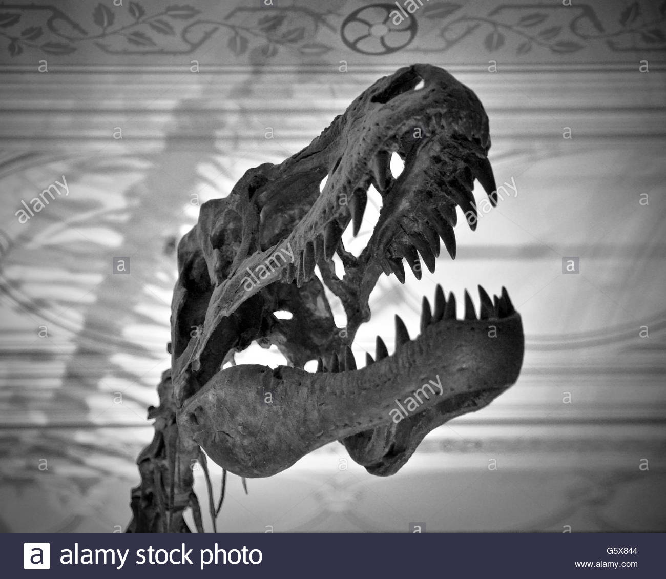 Albertosaurus Dinosaur Skull - Stock Image