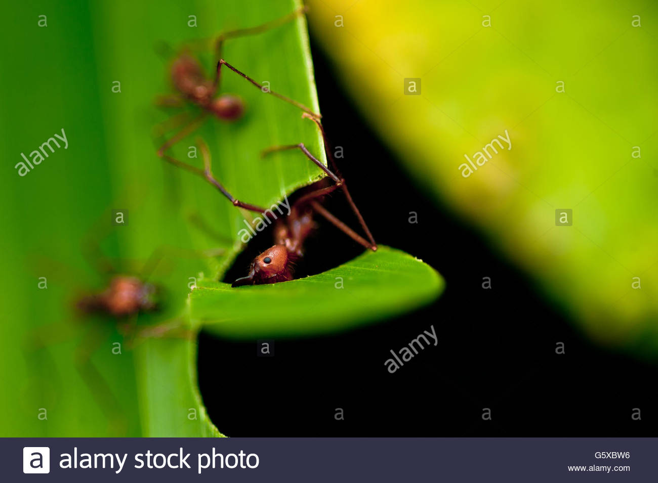 ant, Costa Rica - Stock Image