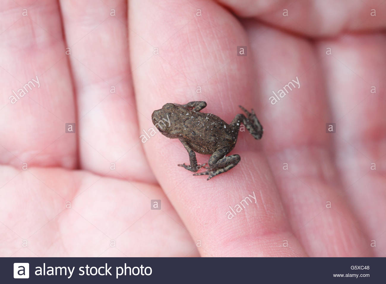 Young frog sitting on female hands - Stock Image